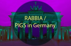 pigs in germany